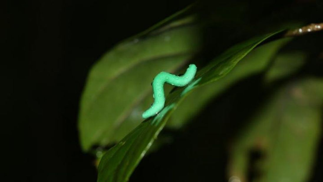 3,000 plastic caterpillars revealed a global pattern of higher predation at low elevations and low latitudes. Pic: Chung Yun Tak
