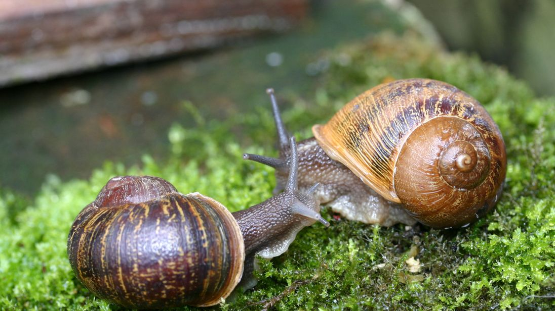 Lefty snails are extremely rare