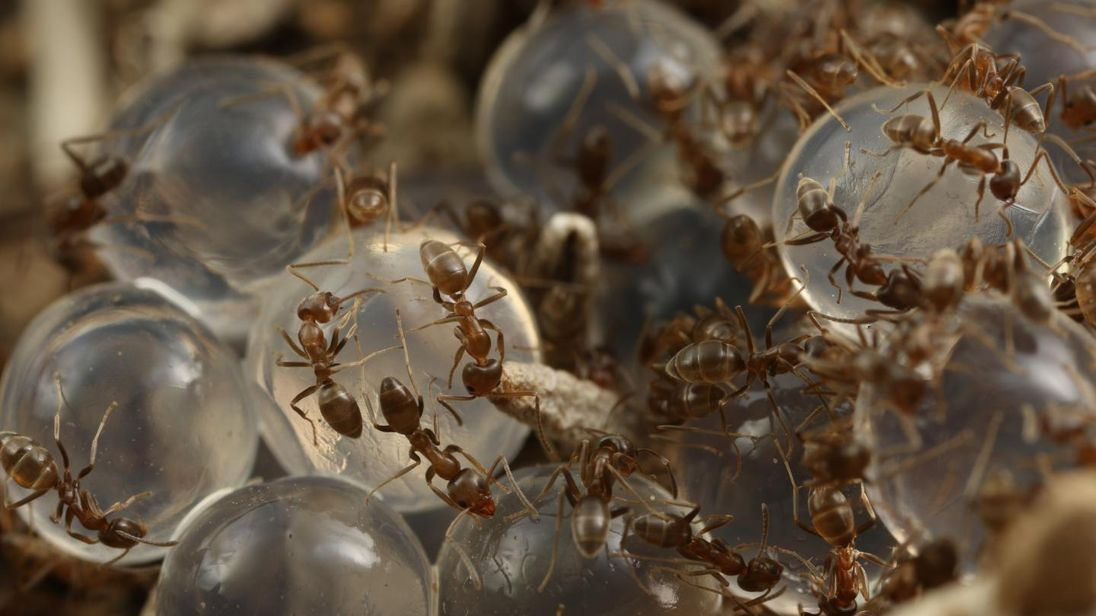 Seaweed-based ant bait helps manage invasive ants. Pic: Choe Laboratory, UC Riverside