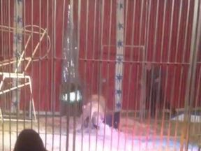 A grab from the Facebook video of Sevda Binici showing the lion with its tamer pinned to the ground by his neck.