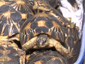It is thought the tortoises were to be sold for food or as pets