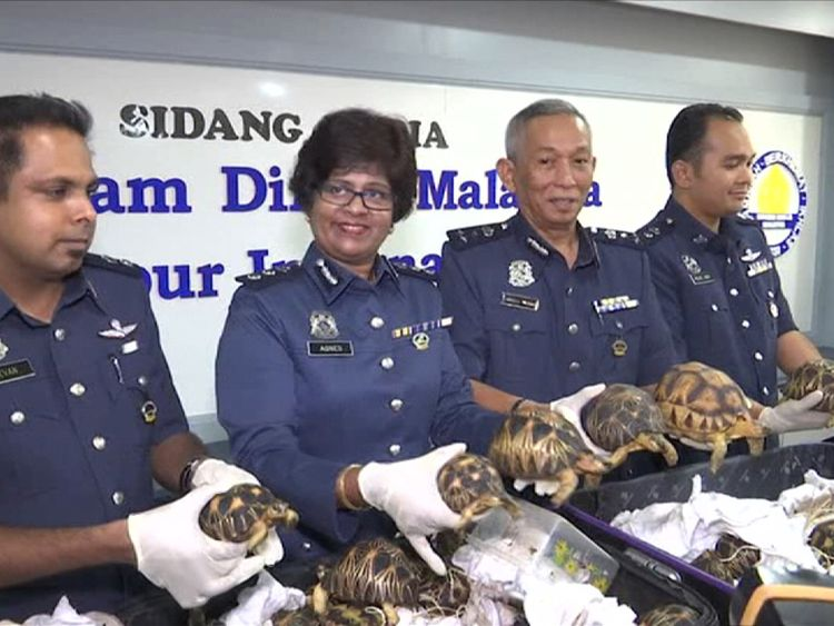 Malaysian officials display some of the hundreds of smuggled tortoises