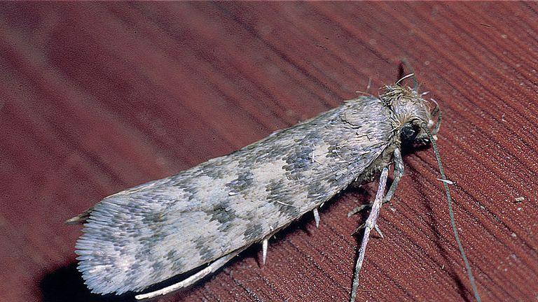 A clothes moth. Pic: CSIRO