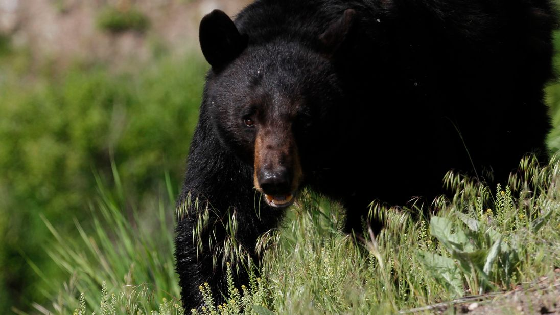 The boy was killed by a 'large black bear', police said. File pic
