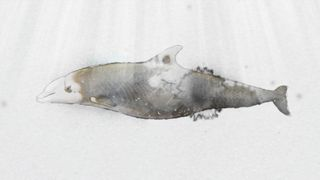 A Cuvier's beaked whale