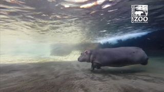 Fiona the baby hippo makes her media debut at US zoo