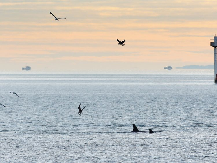 A pod of Orca whales are seen off St Heliers Bay on June 24, 2009 in Auckland