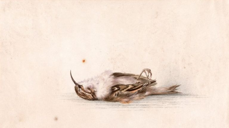 The watercolour by Dr Wilson - discovered after 118 years - depicts a tree creeper bird