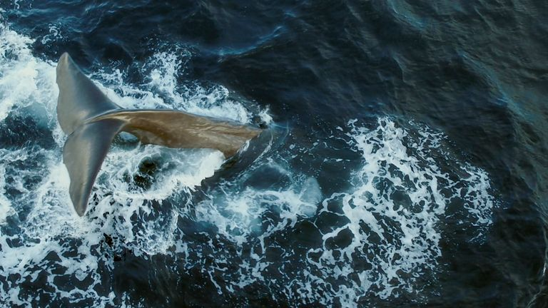 A whale dives beneath the ocean to search for food.