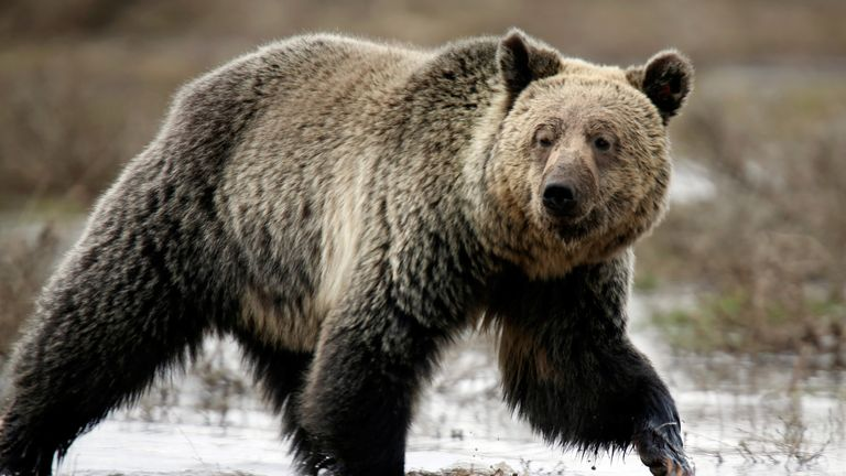 A grizzly bear in Yellowstone National Park