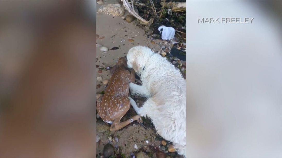 Storm the dog nuzzles the deer after rescuing it from Long Island Sound. Pic: Mark Freeley