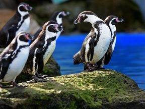Eight Humboldt penguins - five adults and three babies - were killed in the attack
