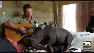 Rhino drops off to sleep while carer plays guitar