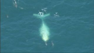 """Authorities believe it may be a white whale called """"Migaloo"""", making its annual migration towards the Great Barrier Reef"""