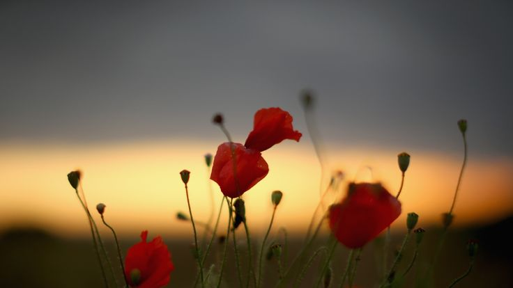 Wild poppies grow on the verge of a Flanders field near Tyne Cot Military Cemetery