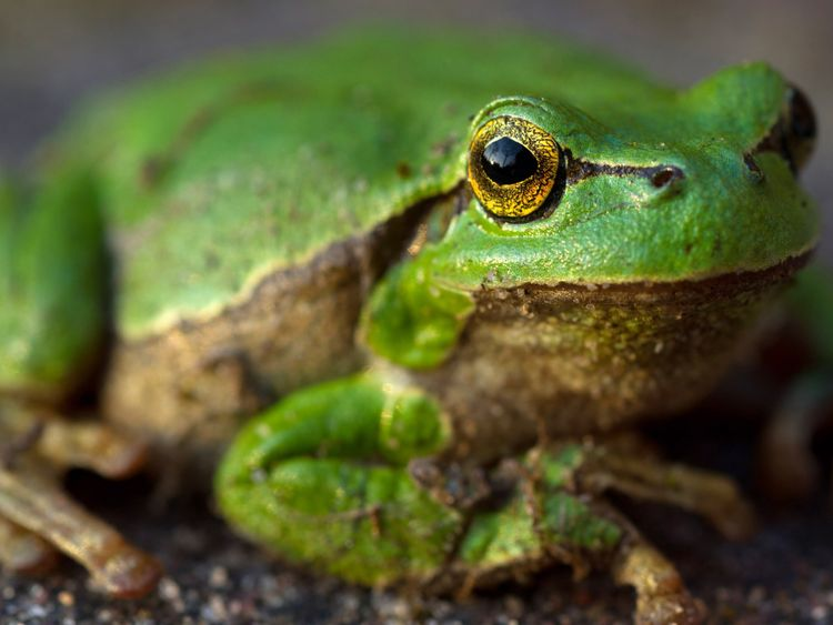 Man species of frog are under threat