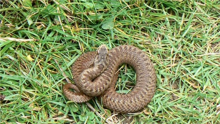 An adder snake. Pic: James Allan/Wikimedia Commons
