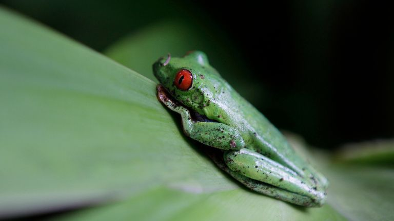 Most modern amphibian species are descended from three lines that survived the meteor strike
