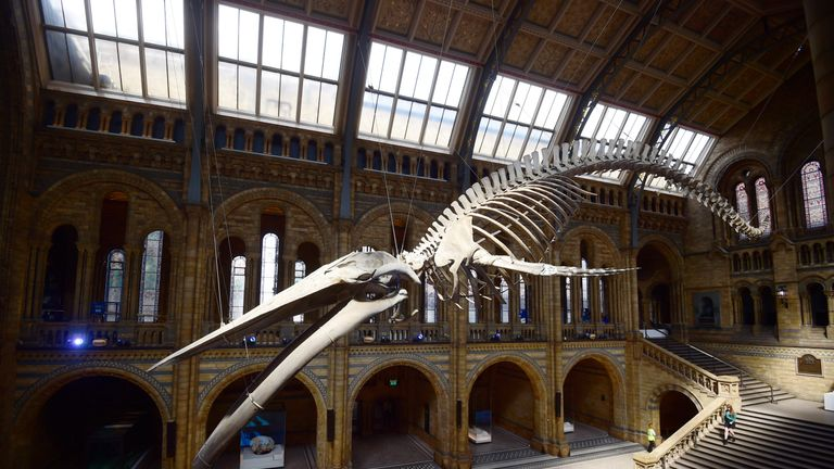 A giant blue whale skeleton is unveiled in the Hintze Hall at the Natural History Museum in London