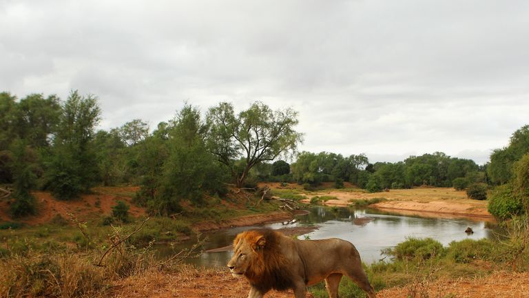 Lion at Kruger National Park
