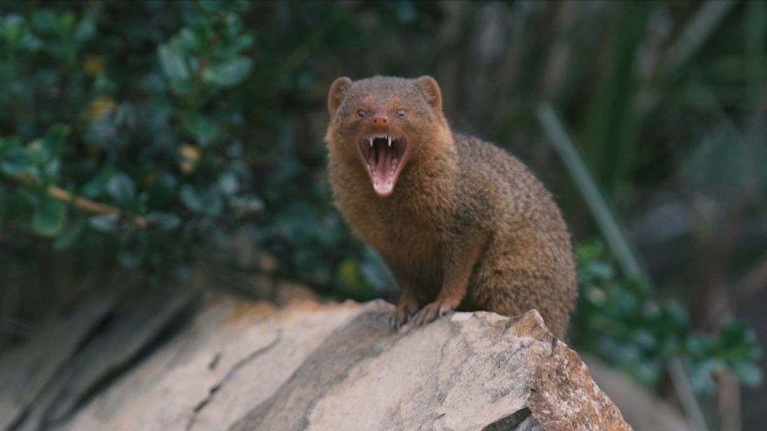 Five dwarf mongooses are born in the UK