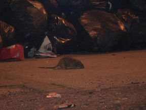 The presence of rats suggests the bin crisis has become a major health hazard