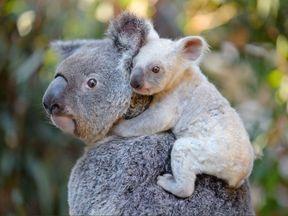 A rare baby white koala