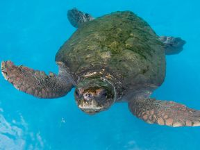 Loggerhead sea turtles were said to be the root cause of the delay
