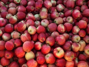 Picked apples are seen at Stocks Farm which employs migrant workers to help harvest the fruit, in Suckley, Britain, October 10, 2016. Picture taken October 10, 2016. REUTERS/Eddie Keogh