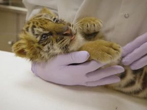 The cub is believed to be in good  health. Image courtesy of San Diego Zoo Safari Park