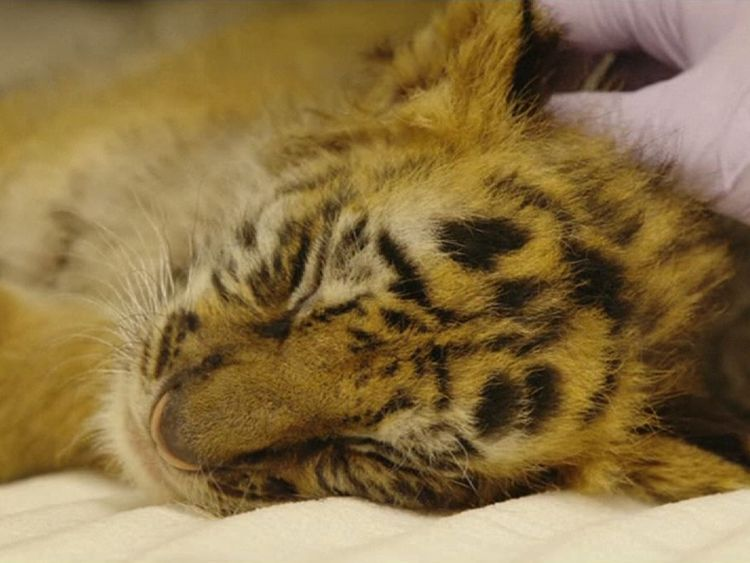 The cub weighs a little over six pounds. Image courtesy of San Diego Zoo Safari Park