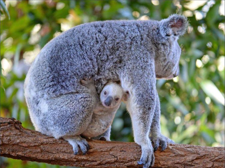 Rare White Baby Koala Born At Australia Zoo Is Looking For