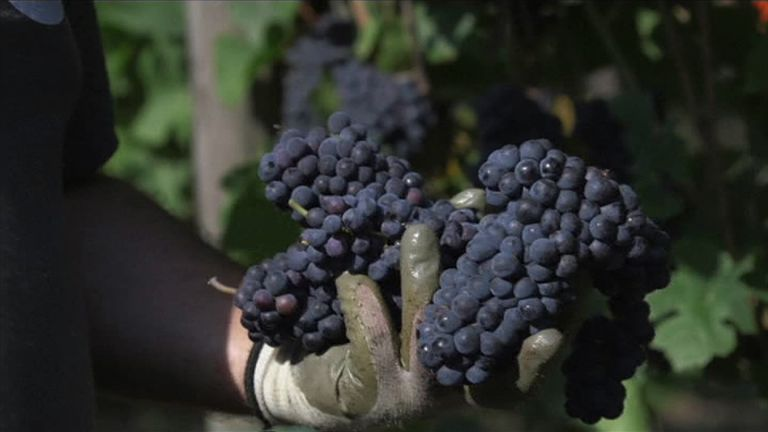 Italian grapes are being harvested early because of hot weather