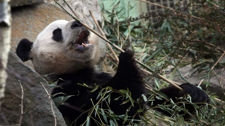 'Sparks flew' between Tian Tian and good-looking Yang Guang, but the pair did not mate