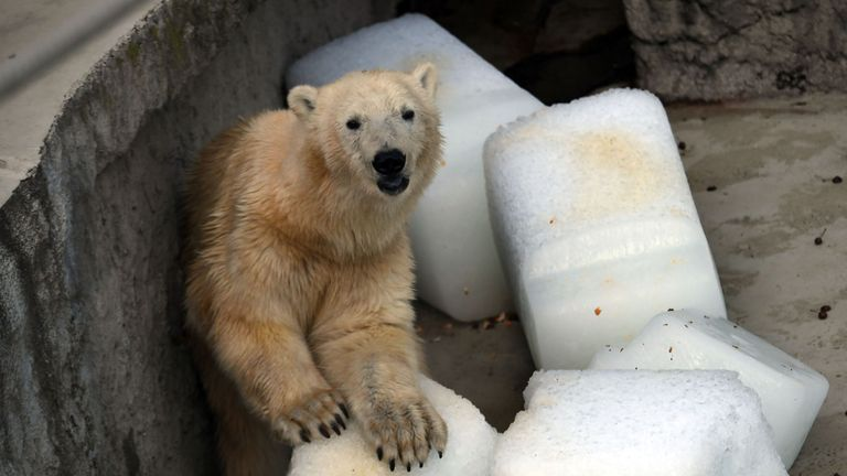 Blocks of ice are being used to cool polar bears at Budapest Zoo