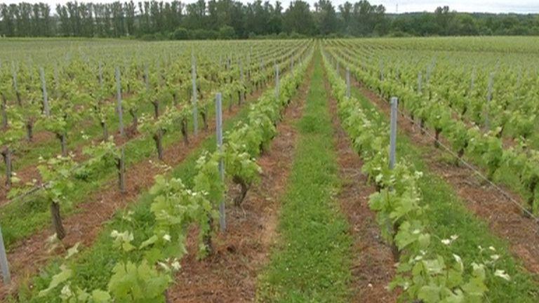 A French vineyard