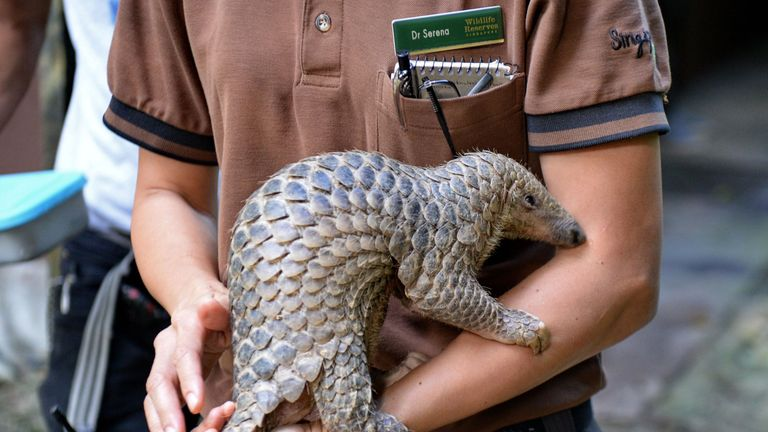 baby Sunda pangolin nicknamed 'Sandshrew' is taken out for feeding by Serena Oh, assistant director and head vet of Veterinary Services in Wildlife Reserves Singapore, at the Singapore Zoo on June 30, 2017. Sandshrew was brought to the Wildlife Health and Research Centre on January 16, reportedly found stranded in the Upper Thomson area by a member of the public. Sunda pangolins are listed as critically endangered by the International Union for Conservation of Nature (IUCN). / AFP PHOTO / ROSLA
