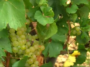 Grapes in a vineyard in the renowned district of Chablis