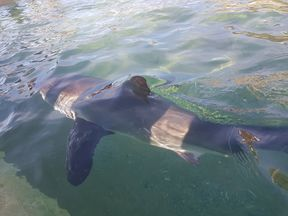 The baby great white shark had been stranded on Manly beach