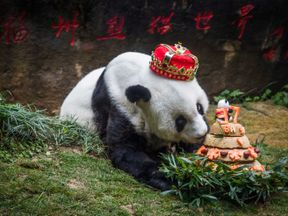 On her 37th birthday Basi the giant panda was given a giant cake