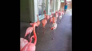Flamingos are evacuated from Busch Gardens in Tampa ahead of Hurricane Irma's arrival