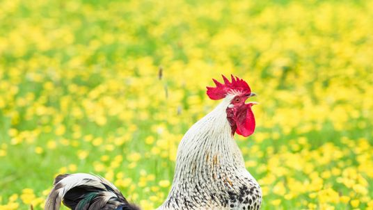 The defendant claims there would not be a problem if it had been a British cockerel. File pic