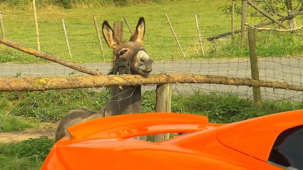 Donkey tries to eat carrot-coloured supercar