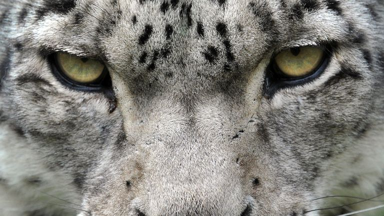 The snow leopard was endangered, and is still vulnerable