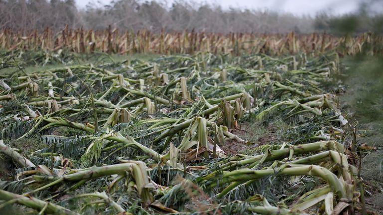 A damaged banana plantation is seen in Guayama, Puerto Rico