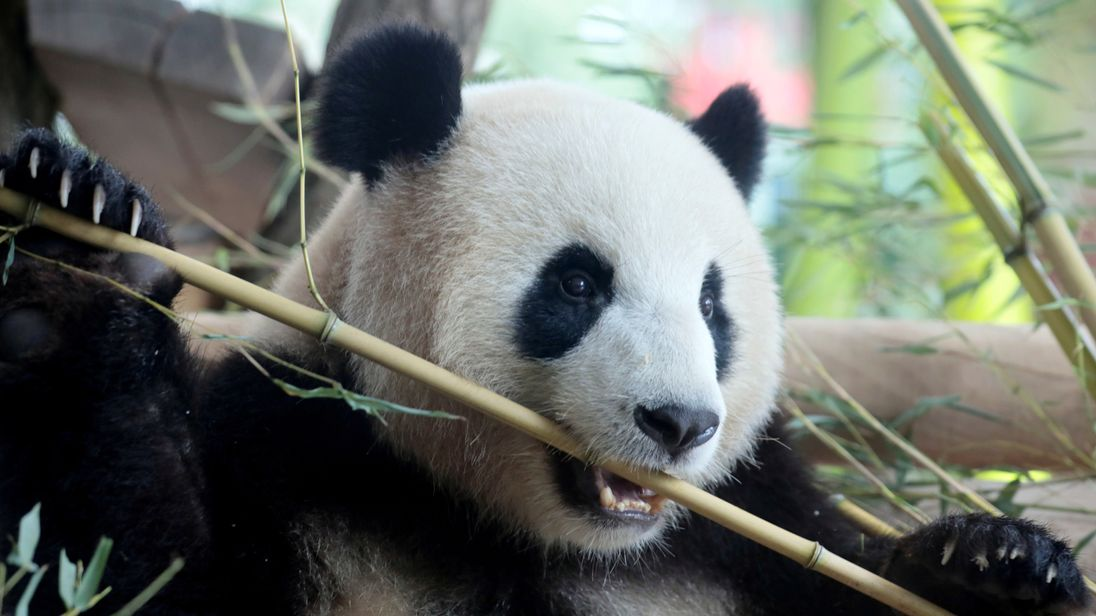 Meng Meng, a female Chinese panda bear, at Berlin Zoo