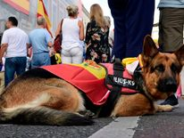 A dog wearing a Spanish flag takes a break at a demonstration in Madrid