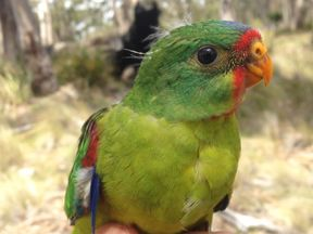 It is thought there are only 2000 swift parrots in the wild. Pic: ANU