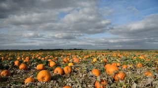 "The new pumpkin crop in a field at ""PYO Pumpkins"" in Hoo, England"