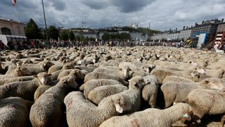 "Hundreds of sheep gather as French farmers stage a protest against the government's ""Plan loup"" (wolf project) in Lyon, France"